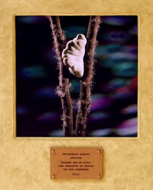 Hierosolyma pomum sesculus