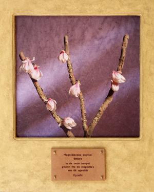 Magnoliacae septus datura