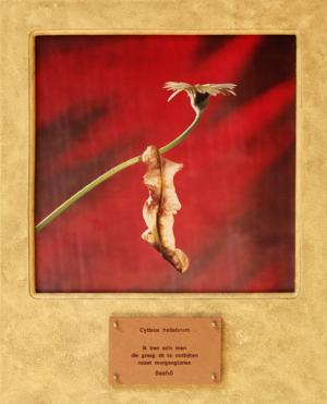 Cytisus heliabrum