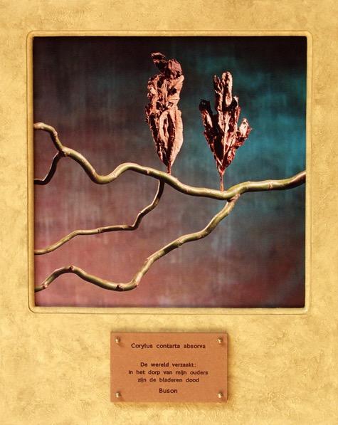 Corylus contarta absorve