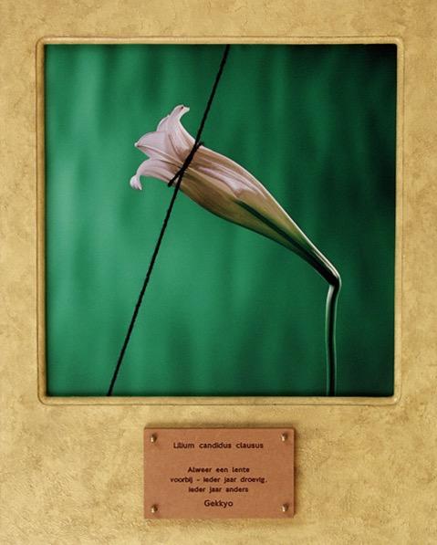 Lilium candidus clausus