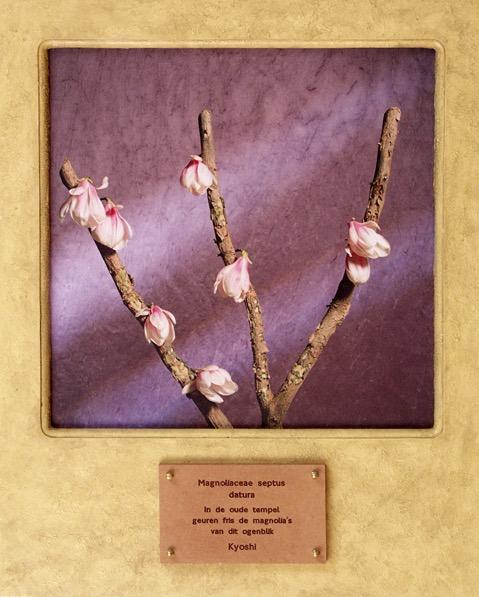 Magnoliacese septus datura